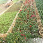 تولید انواع نشای گل در گلخانه شهرداری منطقه ۸ تبریز