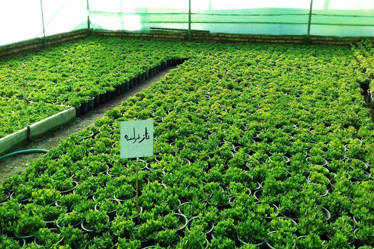 ظرفیت پیشبهاره گلخانههای شهرداری منطقه ۴ تکمیل شد