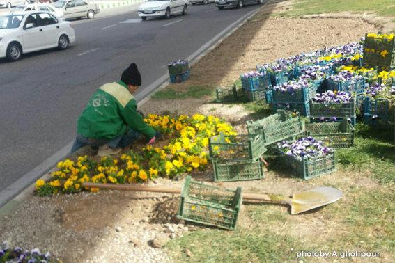 کاشت ۳۰ هزار گلدان شببو و ۱۵ هزار جعبه بنفشه در سطح منطقه ۳