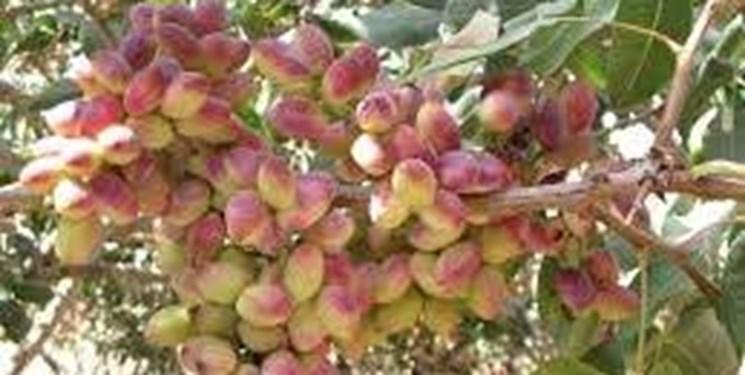 مهاجرت کشت پسته در کشور/ تولید ۴۲ کیلو گوجه فرنگی با یک مترمکعب آب در جلفا
