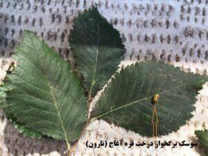 واپسین نفسهای درختان قرهآغاج (نارون) تبریز